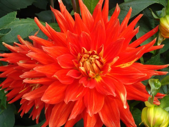 Decorative Orange Dahlia very close