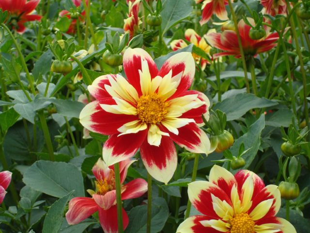 Dahlia red and soft yellow smaller one seen from above