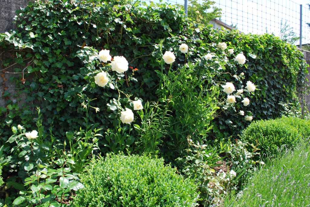 """Packed green """"Ivy"""" wall with white Roses and Boxwood - front border"""