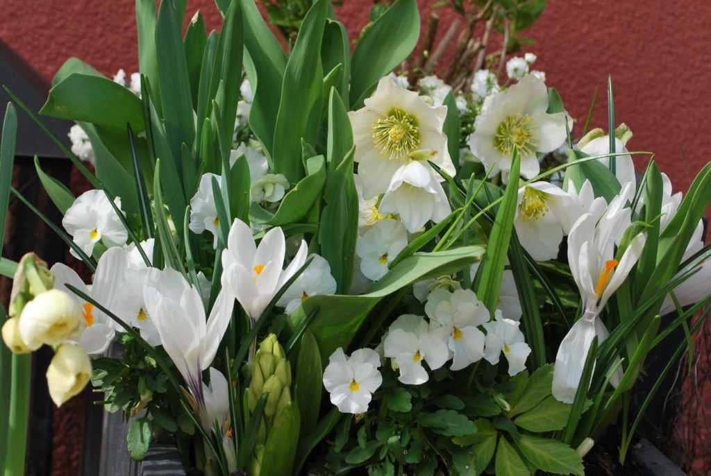 White spring flowers very close, crocus, Helleborous, tulips, Narcissus