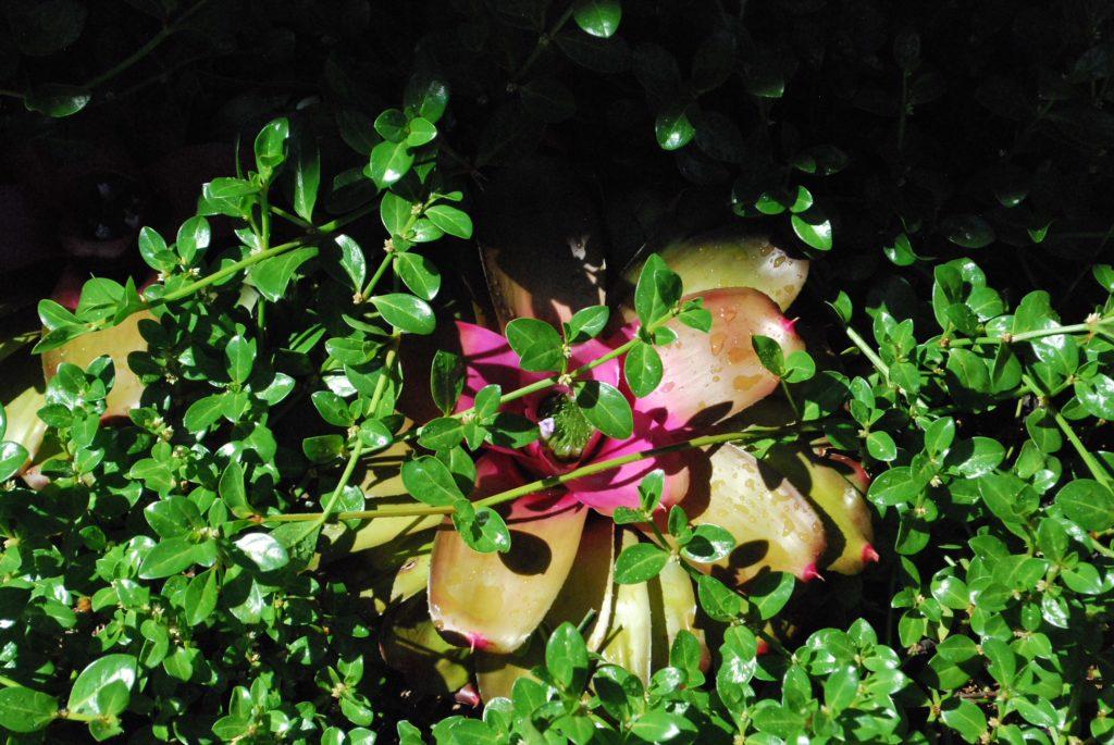 Succulent in Garden with green ground cover at Miami Beach Botanical Garden
