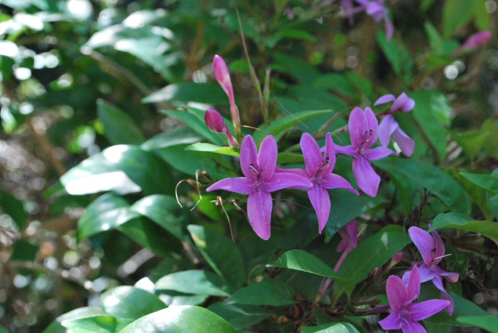 Violet flower with green leaves from tree or shrub