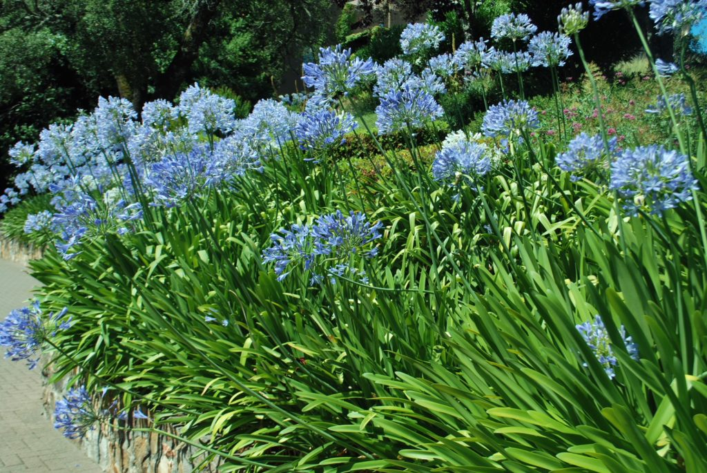 Boarder with blue Allium with green leaves at Hess Collection Winery