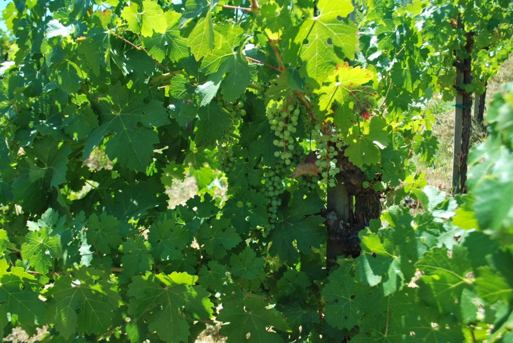 Green Grapes growing on the vine at Hess Collection