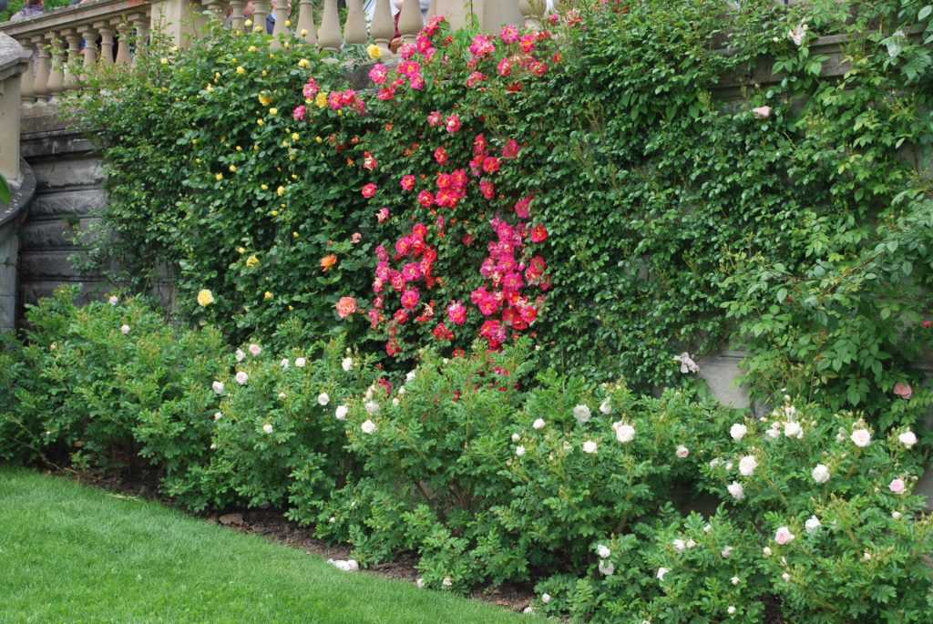 Wall with red and yellow roses with a lots of green near at the Blumen Insel Mainau Deutschalnd / Flower Island Mainau Germany the main building