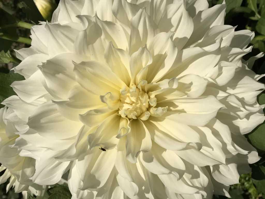 Decorative White Dahlia