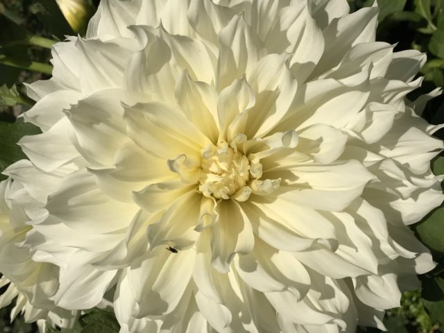 Decorative White Dahlia