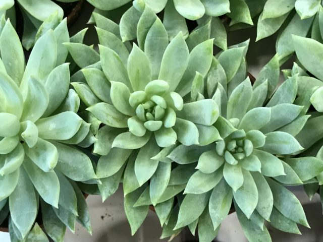 3 Succulent Plants looking like roses view from above