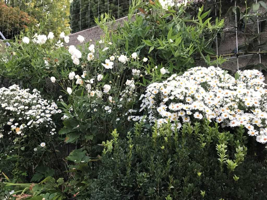 White Flower Bed with Aster Novi Belgii, Fall anemone japonica St Honore my own garden, Switzerland
