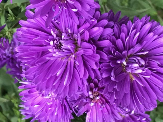 Violet Aster very close seen from above