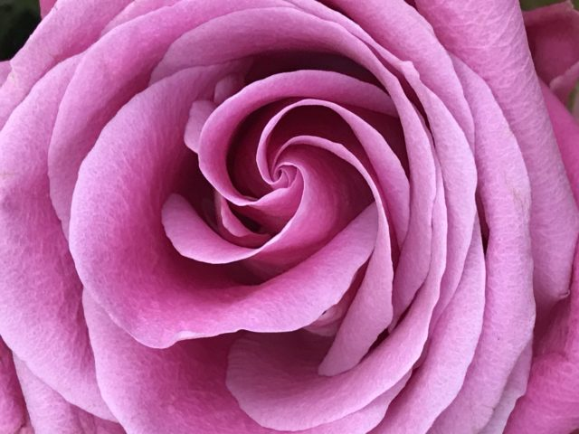 Pink Rose very close from above looking like a swirl