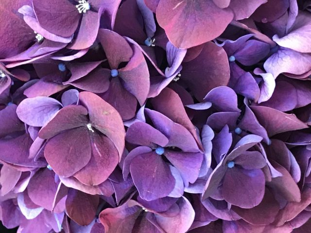 Violet Hortensia from very close and above seen at Orticolario 2017