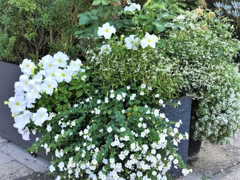 Excessive White flower pot including Allysum, Petunia, Bacopa and a white rose