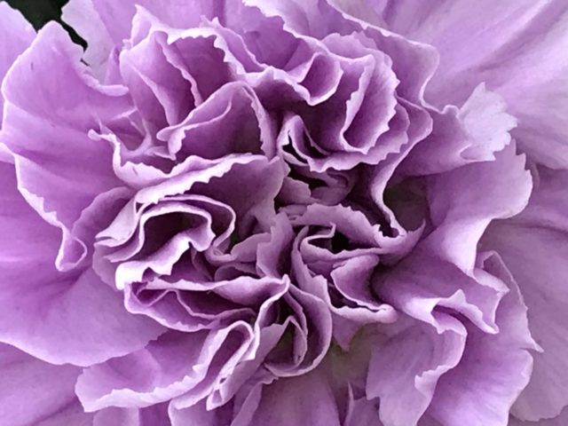 Big Violet Dianthus very close from above seen at Oricolario