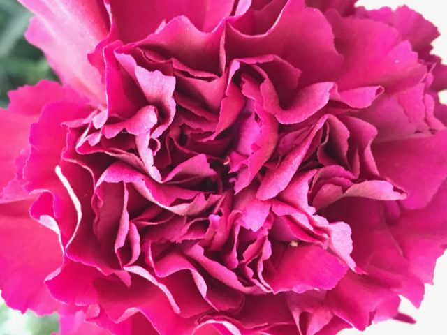 Dianthus Pink very close from above