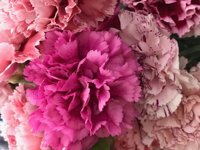 Dianthus dark pink with mixed other Dianthus in rose in a bouquet