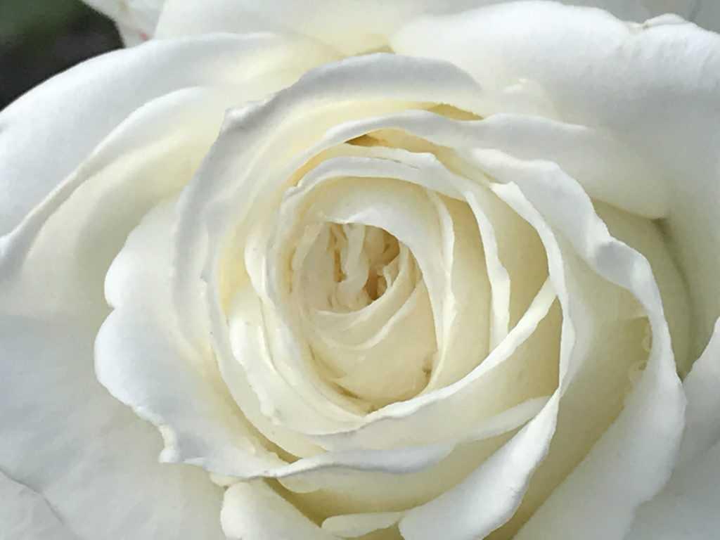 White Rose Memoire from my own Garden, Zurich Switzerland