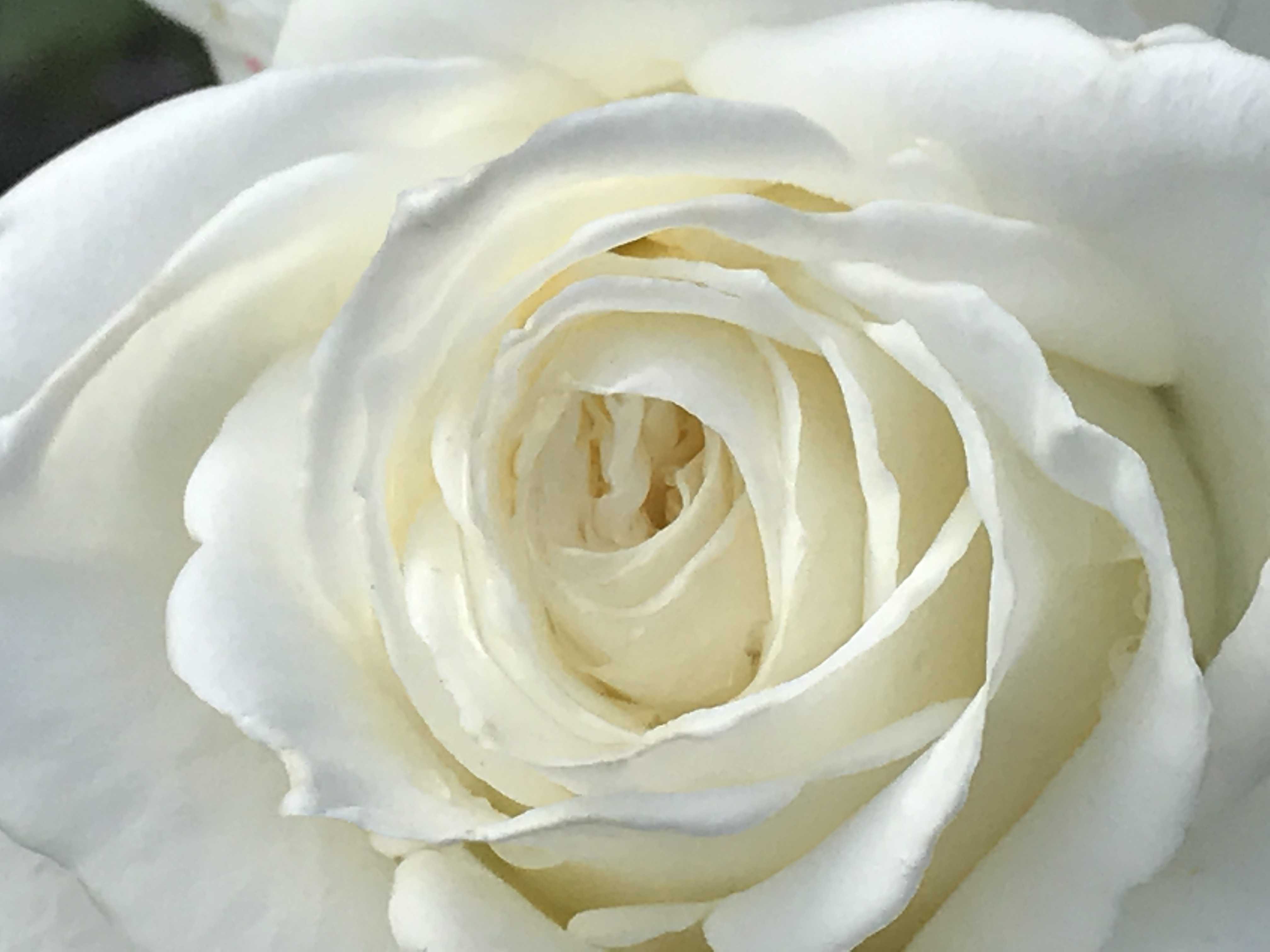 White Rose Memoire from my own Garden, Zurich Switzerland