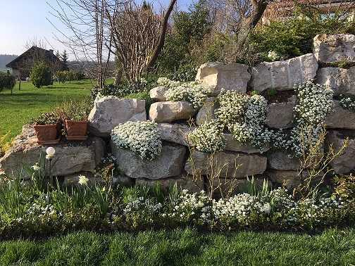 Stone Wall with white Spring flowers, the evergreen arabis caucasica both on walls and ground. Roses not yet flowering