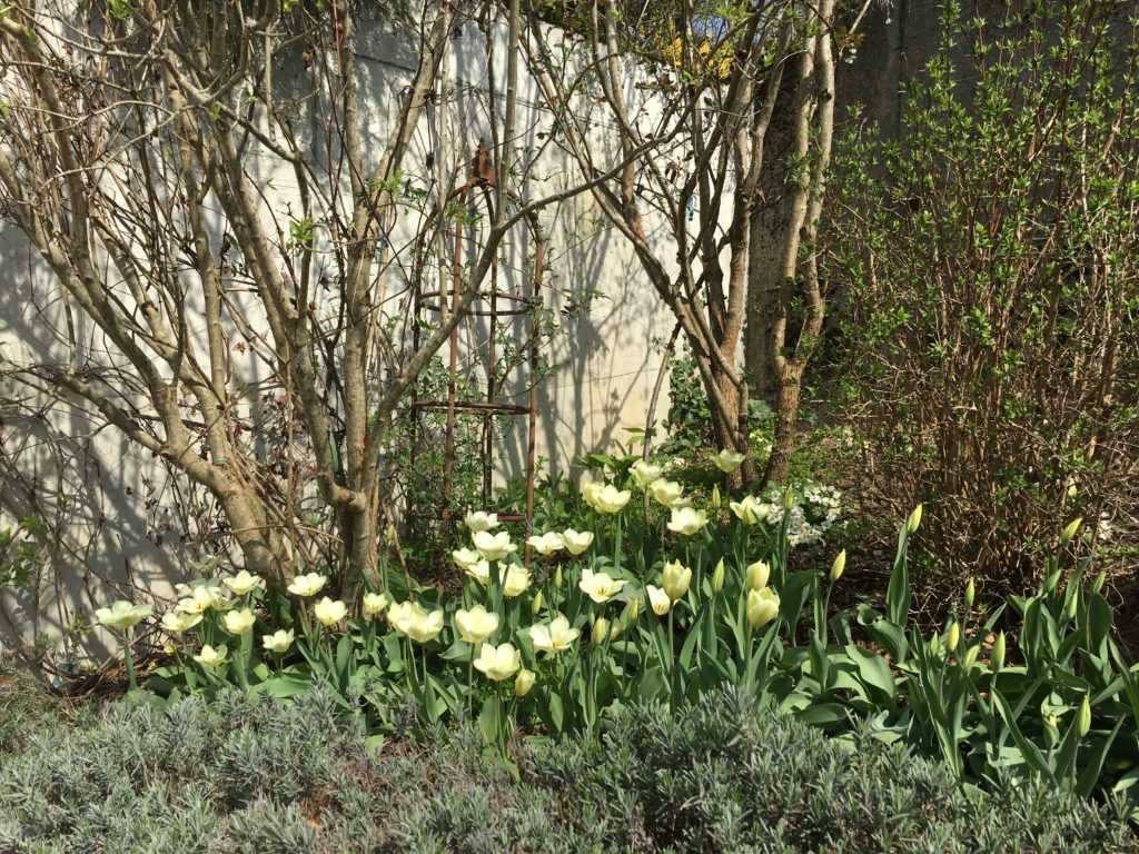 Spring with white Tulipa Purissima under the Lilac trees surounded by walls