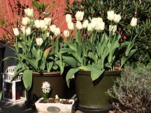 White Flowers, Tulipa Purissima in a green pot at the entrance