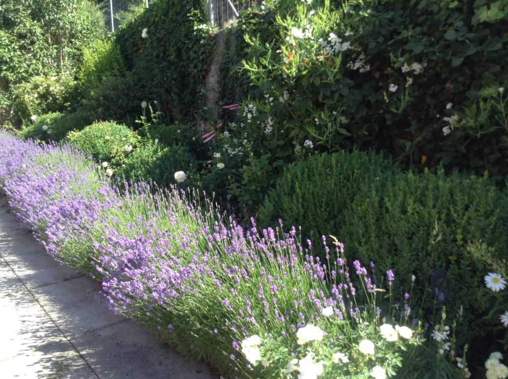 Lavender border violet, with boxwood and white flowers in my own garden in Zurichm - Switzerland
