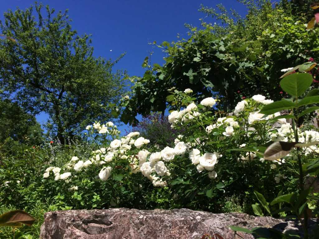 White Rose Aspirine on front side, photo taken from below with trees and blue sky