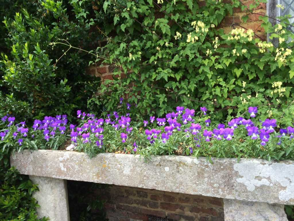 Violet Violas planted in an old stone container or bed with a brick wall behind