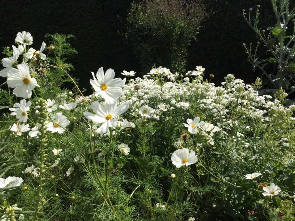 White Flower Bed with Cosmea's at the White Gardens of Vita Sackville West