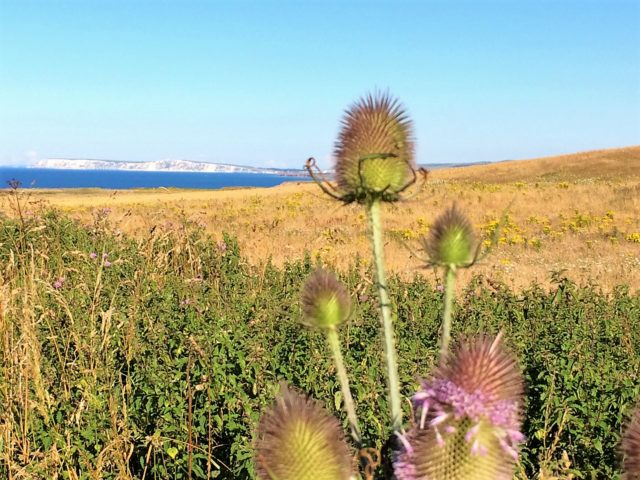 Tistleflower at Isle of Wight with the view of the Needles in distance with blue sea