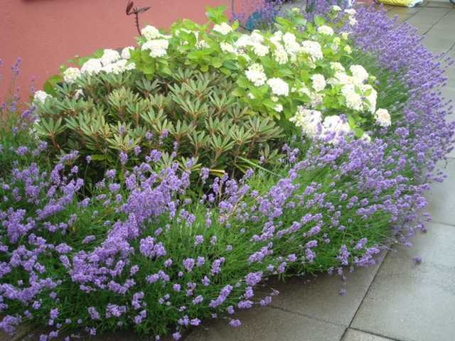 Mission Impossible - Lavendula Boarder with Hortensia and Rhodedron Sommer 2010, growing together in neutral soi, my own garden mistake