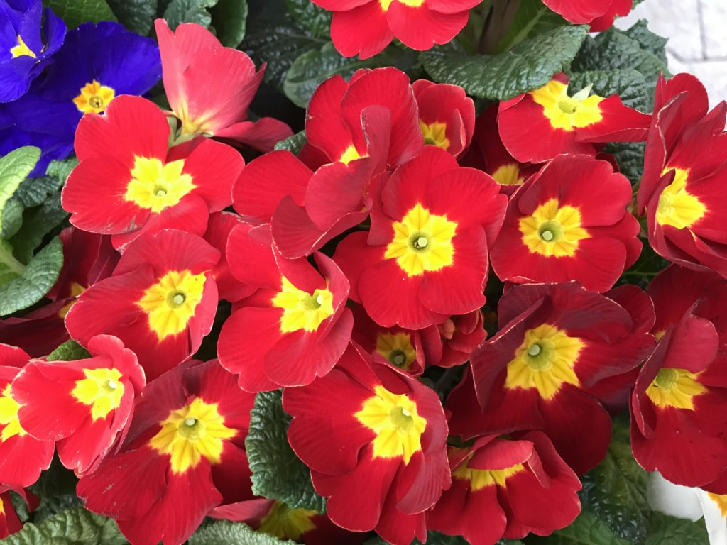 Red Primulas with yellow eye with view from above