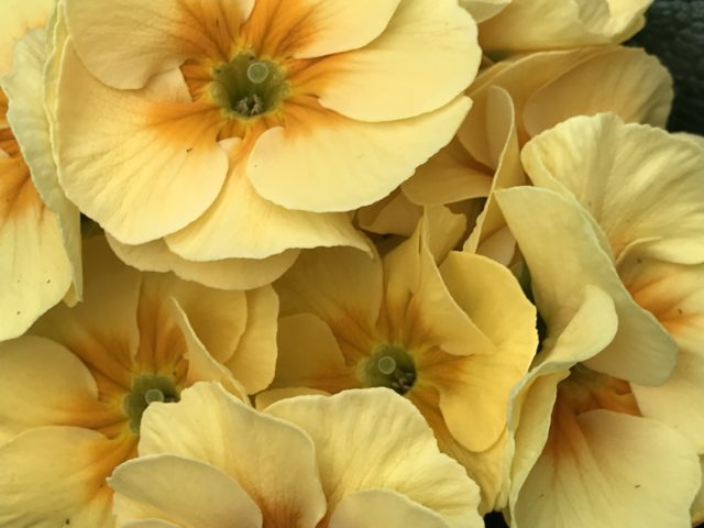 Yellow Primula very close view from above
