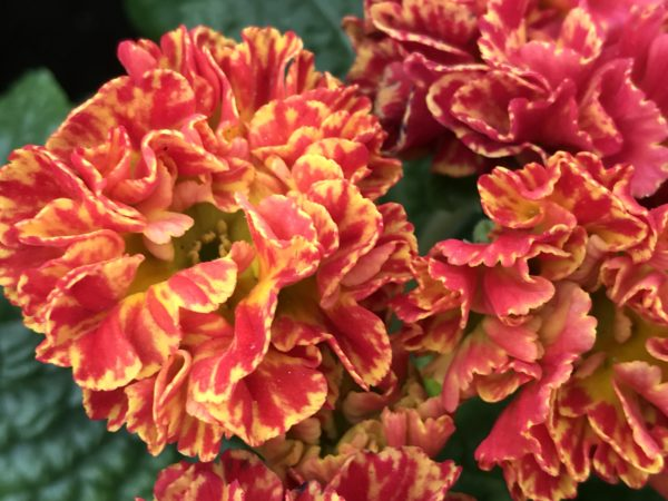 Filled Primula red and yellow for the Spring Blog on www.thegardenidea.com