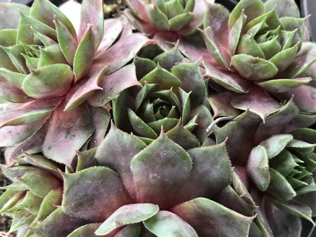 Succulent Big taken very close partly red leaves