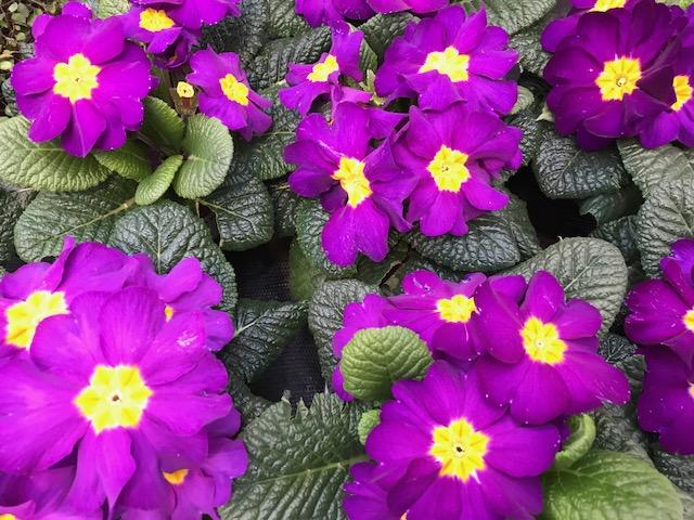 Violet Primroses Primula Spring Portrait