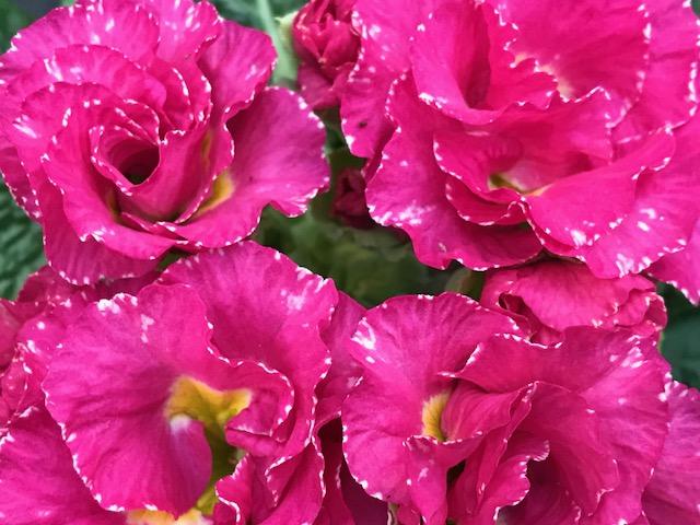 Pink Primrose filled Primula Soring Portrait