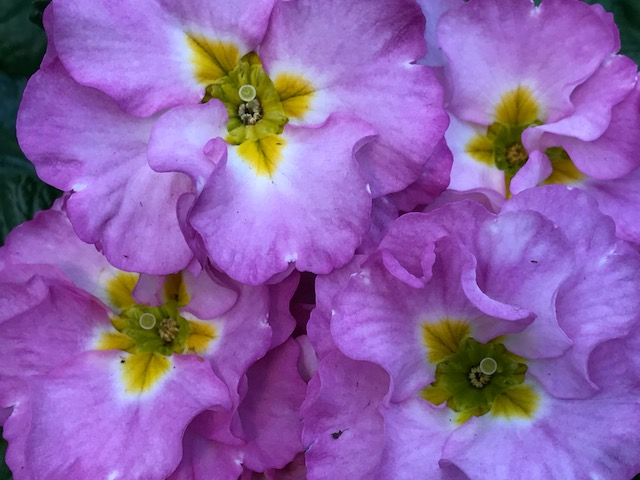 Light violet crepes Primrose Primula Spring Portrait