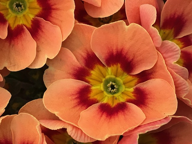 Orange Primula Primrose Spring Portrait