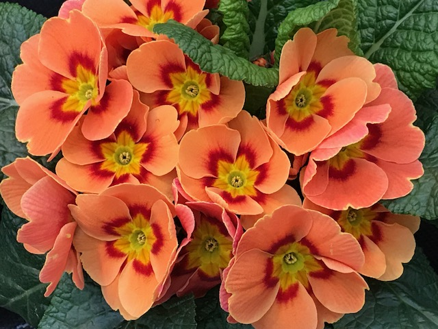 Orange Primrose Primula Spring Portrait