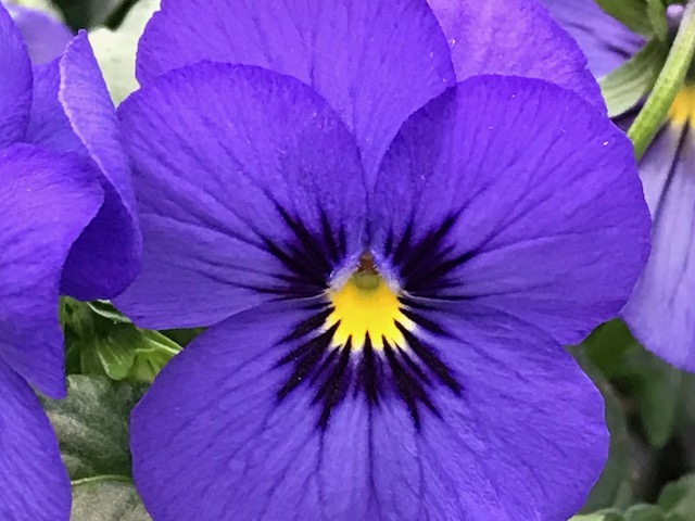 Blue Viola Cornuta Spring Portrait