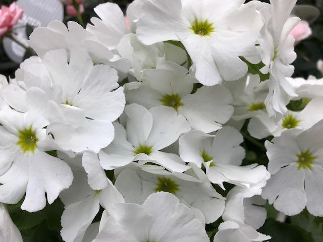 White Primrose Primula Spring Portrait