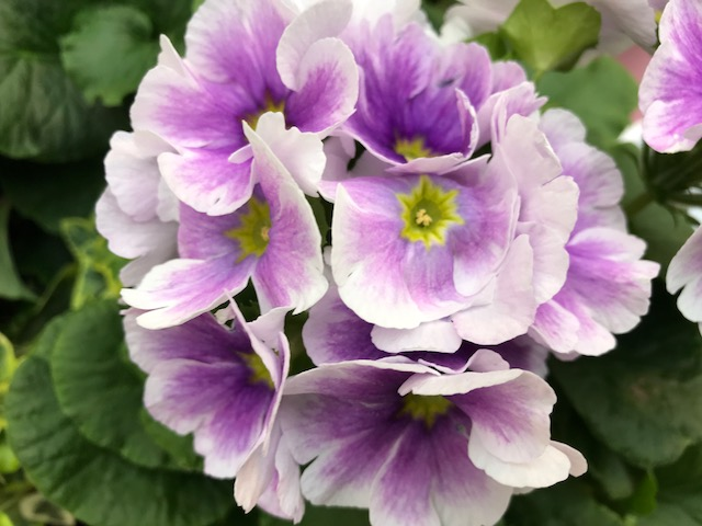 White and Violet Primrose Primula Spring Portrait